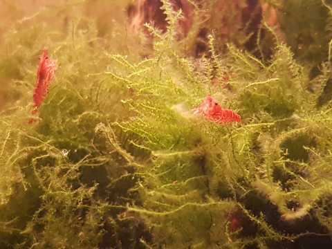 Red Cherry Shrimp Neocaridina Davidi